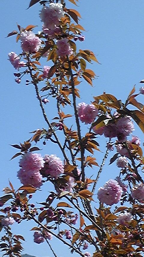 ぼたん桜が咲いていました♪